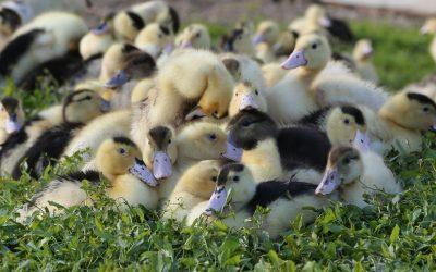 Crise aviaire: un impact devenu permanent pour les emplois et les salaires